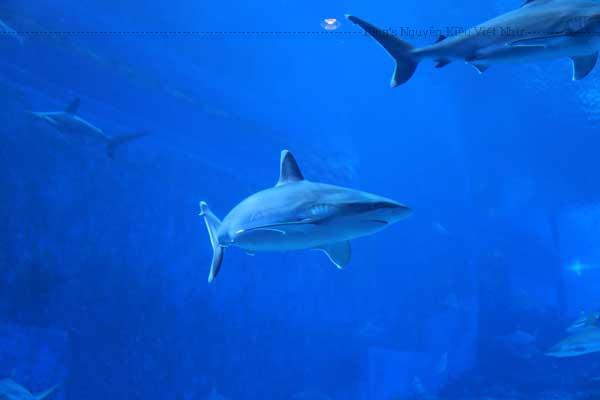 """Ngắm nhìn những chú cá đầy màu sắc, cá đuối và cá mập bơi xung quanh ở Đại Dương Mở với góc nhìn bao quát, cảm giác như bạn có thể chạm tay vào cuộc sống """"nhộn nhịp"""" của các cư dân biển sâu thẳm."""