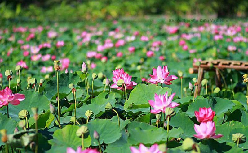 Đồng Sen nằm yên bình trong một vùng quê xã Mỹ Hòa, huyện Tháp Mười.