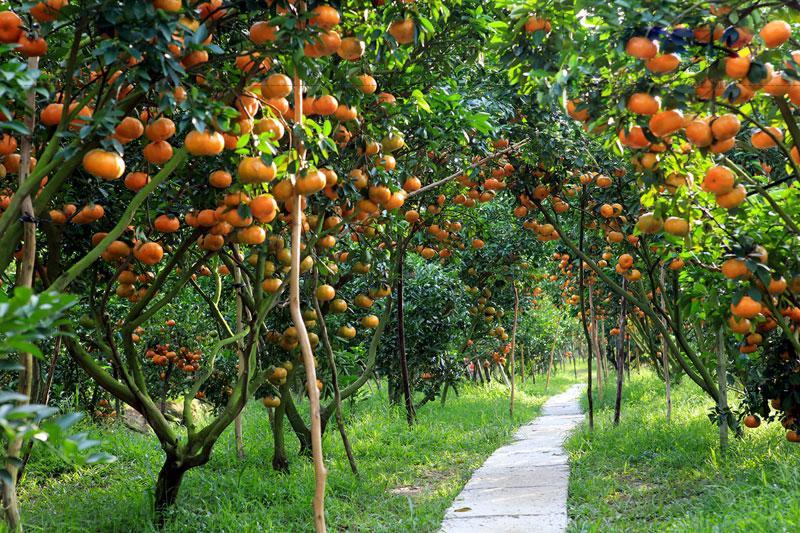 Lai Vung ngoài nổi tiếng với nem chua Nam Bộ còn nổi tiếng là vùng đất có thổ nhưỡng thuận lợi để trồng loại quýt hồng ngọt nhiều nhất miền tây.