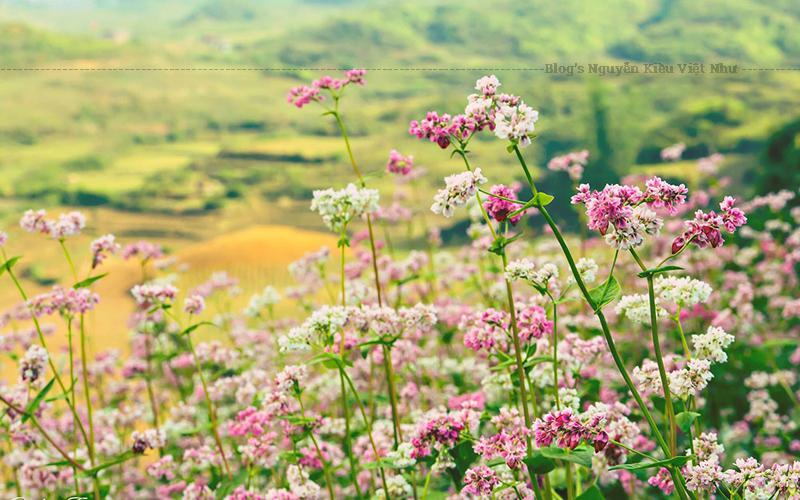 Hoa tam giác mạch được biết đến là loài hoa sở hữu một vẻ đẹp lãng mạn, thơ mộng, làm biết bao tâm hồn xao xuyến.