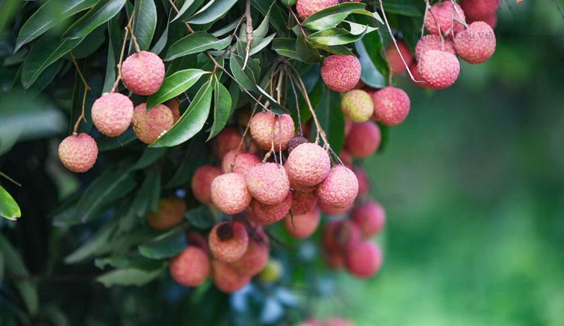 Quả vải thiều Lục Ngạn có đặc điểm khi chín có màu đỏ, vỏ mỏng, hạt nhỏ, cùi dày khi ăn có vị ngọt đậm khiến người ăn cứ muốn thưởng thức thêm.