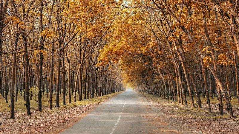 Những rừng cao su bạt ngàn ở Bình Phước bước vào mùa thay lá, tạo nên khung cảnh thơ mộng như trong phim ngôn tình.