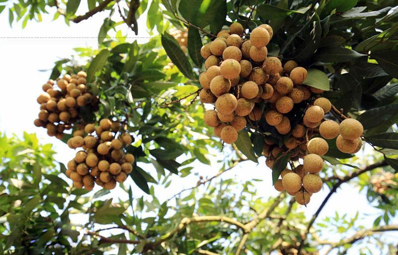 Hưng Yên được mệnh danh kinh đô của các loại nhãn, với những trái nhãn lồng có vị ngon bậc nhất.